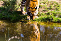 Een Siberische tijger is drinkwater Royalty-vrije Stock Foto