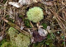 Een sierlijk groen windswept bezemmos op de vloer van een pijnboombos stock afbeeldingen