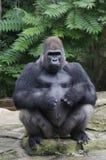 Een silverbackgorilla Royalty-vrije Stock Afbeelding