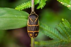 Een sinaasappel stippelde zwart insect Stock Foto