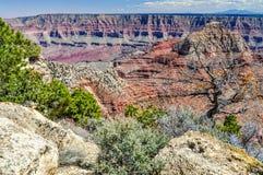 Een Skelet van een Ponderosa-Pijnbomen zit onder Zijn ` Live Relatives in Grand Canyon van Arizona royalty-vrije stock foto's