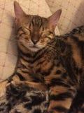Een in slaap kat van Bengalen Stock Foto