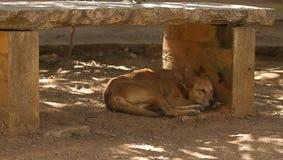 Een slaap wilde hond Royalty-vrije Stock Afbeelding