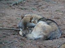 Een slaapwolf Stock Fotografie