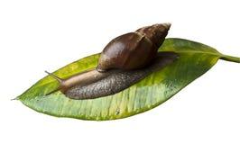 Een slak die op een groot blad kruipt Royalty-vrije Stock Foto's