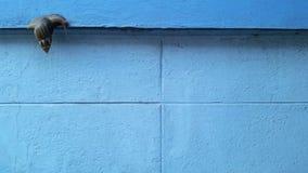 Een slak op de blauwe muurachtergrond royalty-vrije stock foto