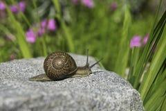 Een slak over een steen Stock Afbeeldingen