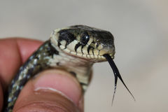 Een slang ter beschikking met de uit tong Stock Foto's