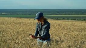 Een slanke vrouw loopt op een tarwegebied en neemt beelden van aartjes op haar telefoon op een Zonnige de zomerdag stock video