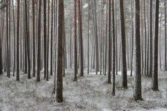 Een sneeuwval in een pijnboombos royalty-vrije stock afbeelding