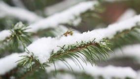 Een snow-covered sparrentak, ijzige sneeuw valt in het bos stock video