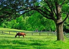 Een solitair paard die in een landelijk landbouwbedrijfweiland weiden Stock Foto's