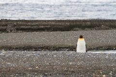 Een solitaire Koning Penguin, Aptenodytes-patagonicus, op het strand in Parque Pinguino Rey, Tierra del Fuego Patagonia stock afbeelding