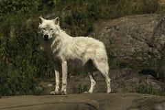 Een solitaire Noordpoolwolf Royalty-vrije Stock Foto