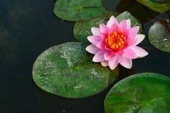 Thaise lotusbloemachtergrond Royalty-vrije Stock Afbeelding