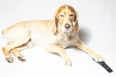 Een spanielhond van gouden kleur in oortelefoons die aan muziek luisteren royalty-vrije stock foto
