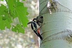 Een specht bij zijn nest in het esp holle voer het kuiken stock afbeelding
