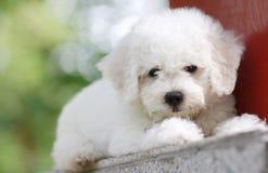 Een speelgoed-als puppy stock afbeelding