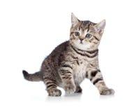 Een speels katje. Brits ras. Gestreepte kat. Royalty-vrije Stock Foto's