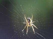 Een spin die een Web spinnen stock fotografie