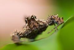 Een spin Portia Royalty-vrije Stock Foto's