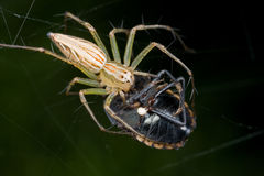 Een spin van de Lynx met prooi - een schildinsect - op een Web Royalty-vrije Stock Afbeeldingen