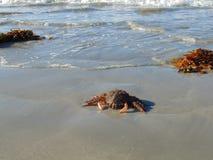 Een spinkrab op strand 4 royalty-vrije stock afbeelding