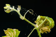 Een spinmijt parasiteert op op een jonge die kiem van druiven, op een zwarte achtergrond wordt geïsoleerd stock foto