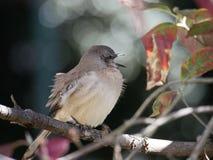 Een Spotlijster zingt op een boomtak stock fotografie