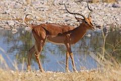 Een springbok Royalty-vrije Stock Foto's