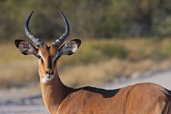 Een springbok Royalty-vrije Stock Fotografie