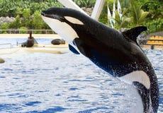 Een springende orka, Orka Orcinus Stock Afbeeldingen