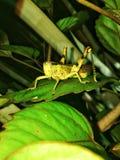 Een sprinkhaan die voedsel zoeken die en op een blad in een tuin in Guakon, Tamparuli, Sabah bevindt zich stock afbeeldingen