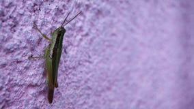 Een sprinkhanenzitting op een tijd van de muuravond schoot met laag licht stock foto's