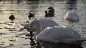 Een stadspark, Witte zwanen zwemt in een rivier, Zwanen op de Vltava-Rivier, Zwanen in Praag, witte zwaan die in het water drijve stock footage