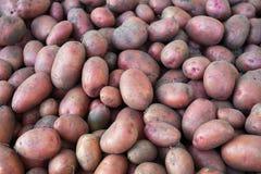 Een stapel van aardappels groef enkel van de grond Stock Foto