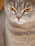 Een starende blik van de kat Een huisdier die bij iets dichtbij staren Stock Foto