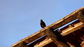 Een starling vogel dragend voedsel in zijn mond, stock footage
