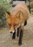 Een stedelijke rode vos op snuffelt rond Royalty-vrije Stock Foto