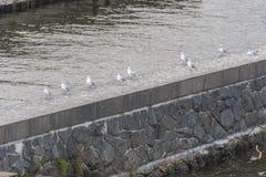 Een steen en baksteendam met rijf duiven die op het zitten Stock Afbeeldingen