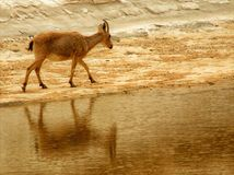 Een steenbok dacht in water in de woestijn na - een oase royalty-vrije stock foto's