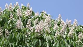 Een sterke wind schudt takken van bloeiende kastanjeboom stock video