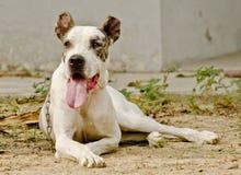 Een sterke witte hond Royalty-vrije Stock Afbeeldingen