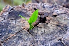 Een sterke zaailing die in de boom van de centrumboomstam als concept de steunbouw een toekomst kweken (nadruk op het nieuwe leve royalty-vrije stock afbeeldingen