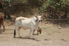 Een Stier die enkel op zijn meester wachten; s vraag royalty-vrije stock afbeelding