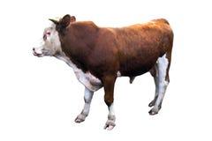 Een stier op de witte achtergrond wordt geïsoleerd die Stock Foto's