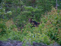 Een Stierenamerikaanse eland in Maine royalty-vrije stock foto