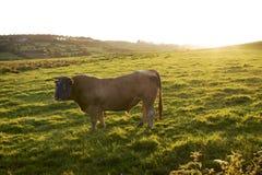 Een stierenhengst Royalty-vrije Stock Afbeeldingen