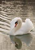 Een stodde die zwaan en het de bezinning van ` s in drie - kwartenmening met het de halsrug en vleugels van ` s half in een bedre stock foto