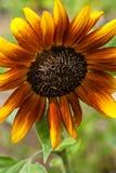 Een stralende oranje en gele zonnebloem met donker centrum stock afbeeldingen